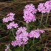 Ia 0007 Primula farinosa