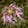 Ia 1137 Dianthus superbus alpestris