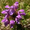 Ia 1146 Prunella grandiflora