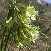 It 0015 Primula elatior