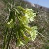 It 0014 Primula elatior