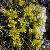 It 0013 Draba aizoides