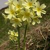 Ia 0425 Primula elatior intricata