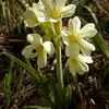 Ia 0427 Primula elatior intricata