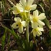 Ia 0428 Primula elatior intricata