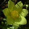 Fr 0643 Pulsatilla alpina apiifolia