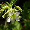 Fr 0640 Saxifraga geranioides