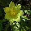 Fr 0642 Pulsatilla alpina apiifolia