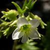 Fr 0639 Saxifraga geranioides