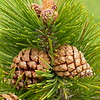 Fr 0777 Pinus uncinata