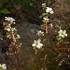 Fr 0637 Saxifraga paniculata