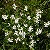 Fr 0653 Cardamine resedifolia