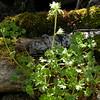 Fr 0641 Saxifraga geranioides
