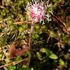 Fr 0646 Homogyne alpina