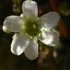 Fr 0638 Saxifraga paniculata