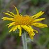 Py 0020 Inula montana