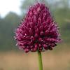Py 0013 Allium sphaerocephalon