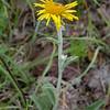 Py 0017 Inula montana