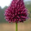 Py 0016 Allium sphaerocephalon