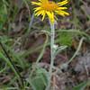 Py 0018 Inula montana