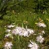 Ia 1005 Dianthus sternbergii