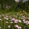 Ia 1000 Dianthus sternbergii