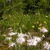 Ia 1003 Dianthus sternbergii