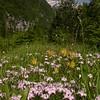 Ia 1001 Dianthus sternbergii