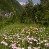 Ia 0999 Dianthus sternbergii