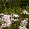 Ia 1006 Dianthus sternbergii