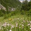 Ia 0998 Dianthus sternbergii