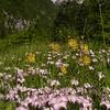 Ia 1002 Dianthus sternbergii