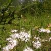 Ia 1004 Dianthus sternbergii