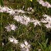 Ia 1007 Dianthus sternbergii