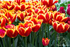 Red/Yellow Tulips in cluster