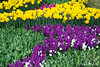Purple Hyacinths and Daffodils in Garden