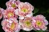 Pinkish Lavender Tulips