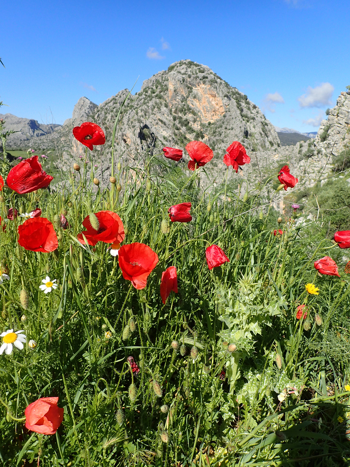 Poppies fill the countryside with brilliant reds