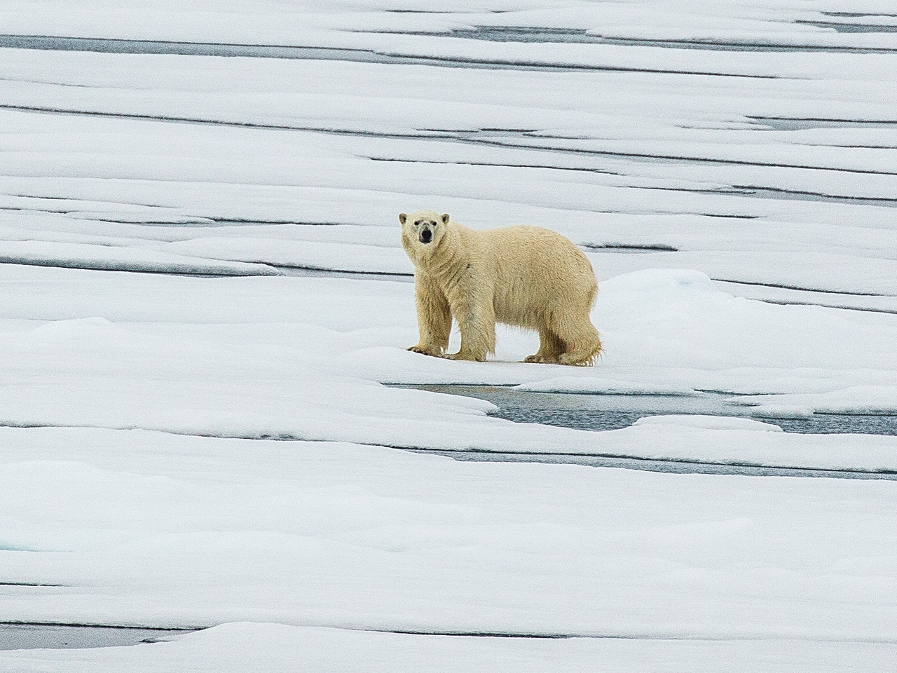 Boomer travel - wildlife - On an Arctic expedition cruise, boomer travelers go looking for polar bear.
