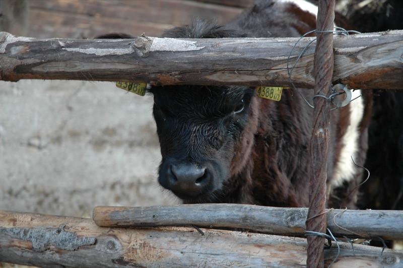 Calf in the Tirol, Austria