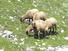 Innsbruck - Sheep near Bergstation