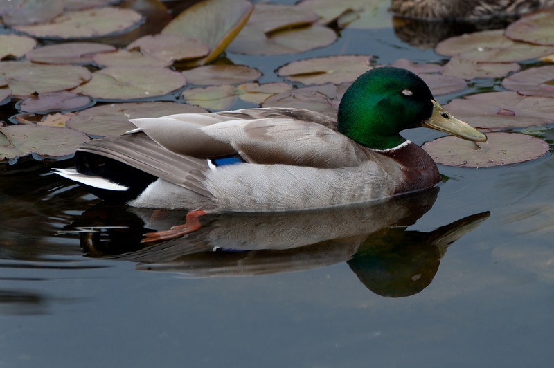Colorful duck on a pond at the Schonbrunn Garden - Vienna, Austria