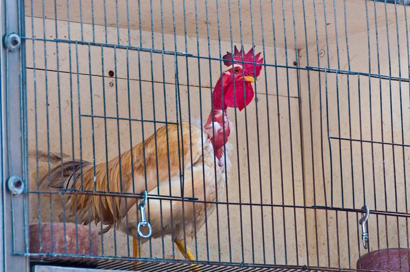 Chickens for sale in the main city promenade. Barcelona.