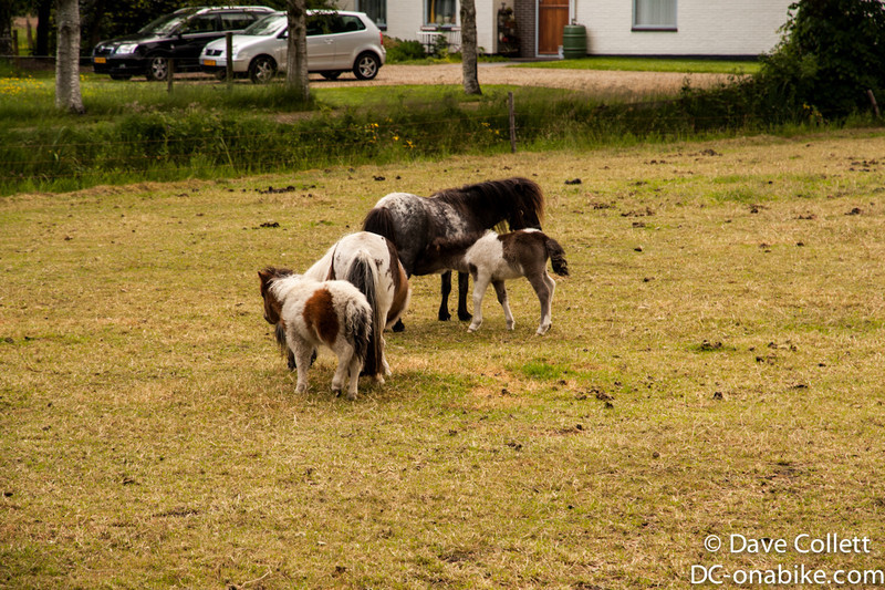 Baby minature horses!