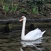 Bruges - Mute Swan
