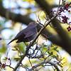Eurasian blackbird (female or juvenile)