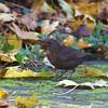 Blackbird (female or juvenile)
