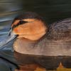 Phillipine duck