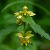 Gele dovenetel Lamium galeobdolon Yellow archangel Lamier jaune Gewöhnliche Goldnessel