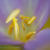Herfsttijloos; Colchicum autumnale; Colchicum multiflorum; Colchique d'automne; Autumn crocus; Meadow saffron; Herbstzeitlose